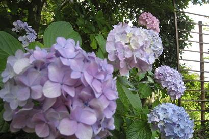 7/21 紫陽花