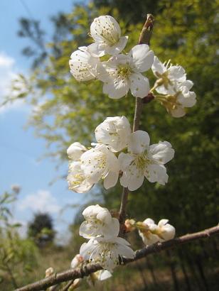 4/12 暖地桜桃