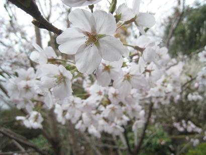 4/13 ソメイヨシノ