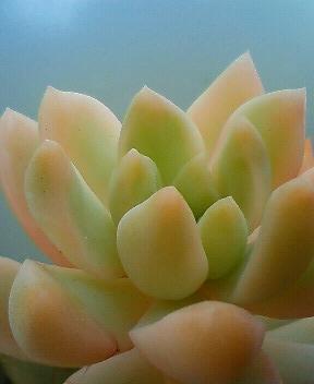 黄麗錦の斑具合 2