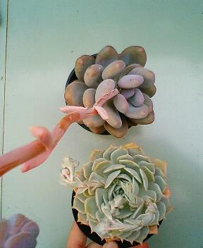 交配候補の花芽たち 6