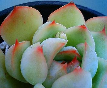 交配候補の花芽たち 5