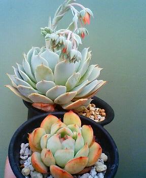 交配候補の花芽たち 4