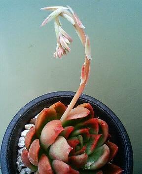 交配候補の花芽たち 2