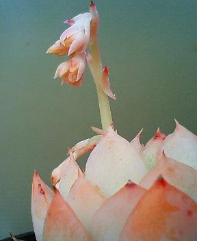 交配候補の花芽たち 3