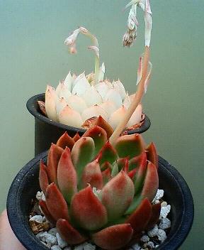 交配候補の花芽たち 1