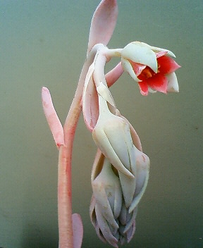 交配候補の花芽たち 7