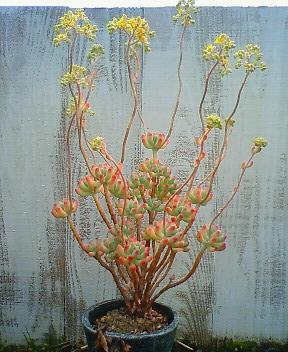 乙女心の花 1