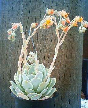 ここローラが花盛り 8