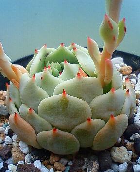 ザラ牡丹の花 1