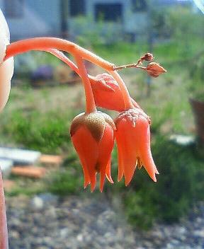 ポトシナ開花チャン 5