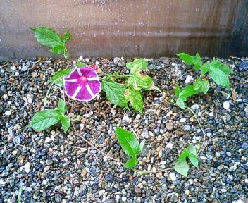 ハウスの脇でひっそりと咲くもの 1