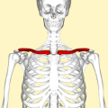 250px-Clavicle_-_anterior_view.png