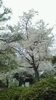 野毛公園(桜)