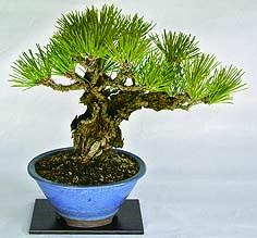 13_bonsai.jpg