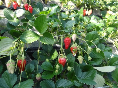 イチゴ狩りのいちご