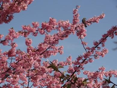 河津桜ともず