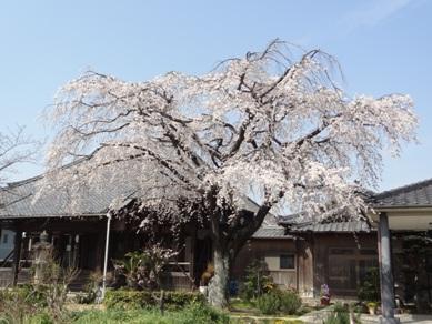 刈谷市築地町の誓願寺の桜