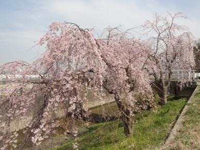 敬専寺付近の桜2