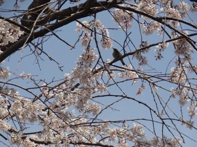 敬専寺付近の川沿いの桜とモズ