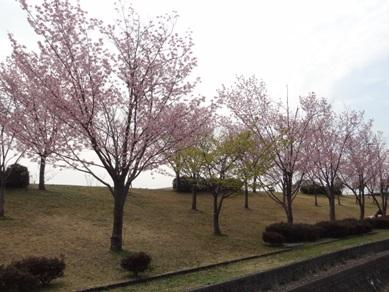 刈谷市運動総合公園の桜