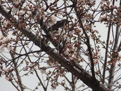 刈谷市亀城公園の桜