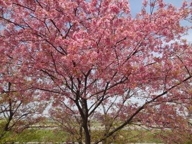 敬専寺付近の桜