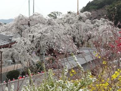 源空院の桜2