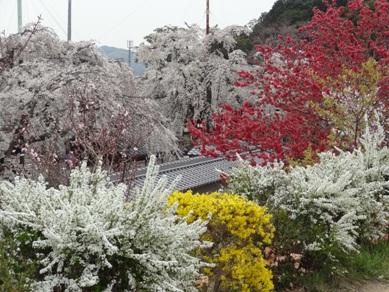 源空院の桜3