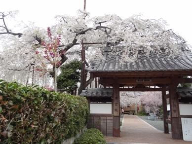 源空院の桜4