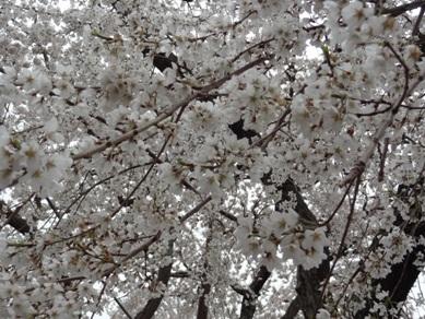 源空院の桜5