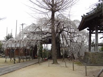 宿縁寺の桜1