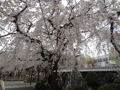 源空院の桜1