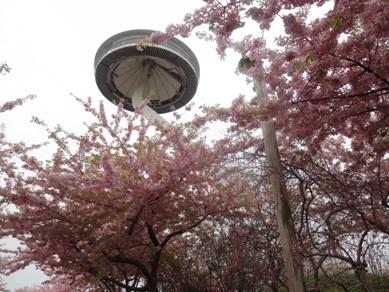 アイランド富士と桜