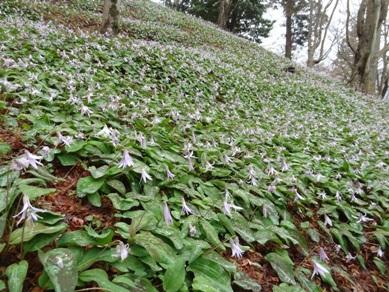 香嵐渓のカタクリの花2