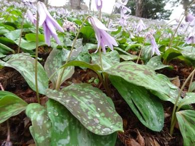 香嵐渓のカタクリの花3