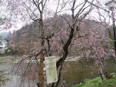 香嵐渓のしだれ桜