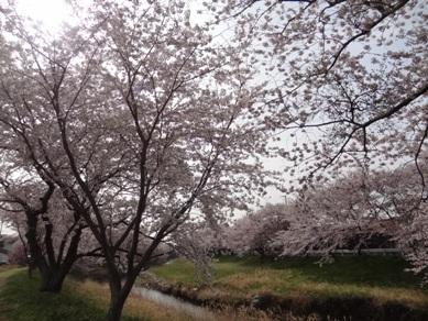 音羽川の桜1
