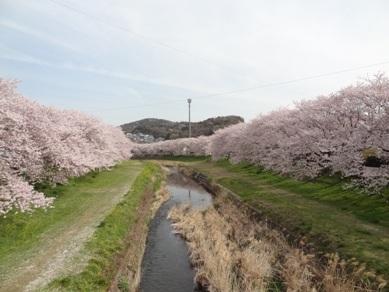 音羽川の桜5