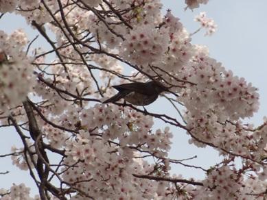音羽川の桜6