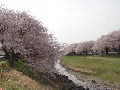 音羽川の桜2