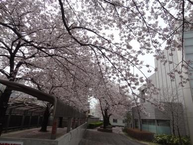 諏訪の桜トンネル付近1