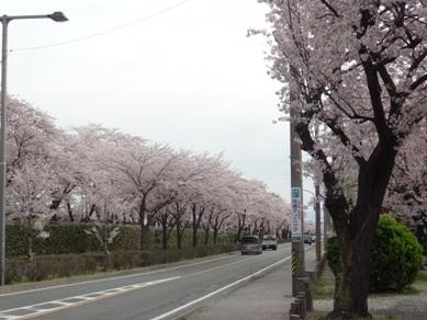 諏訪の桜トンネル付近2