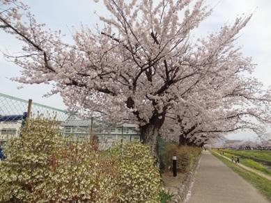 佐奈川堤の桜1