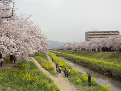 佐奈川堤の桜2