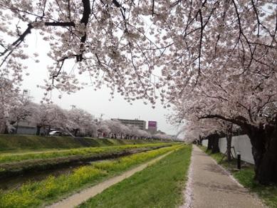 佐奈川堤の桜3
