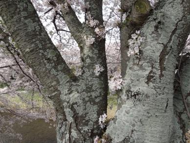 音羽川の桜3