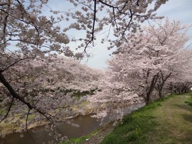 音羽川の桜4