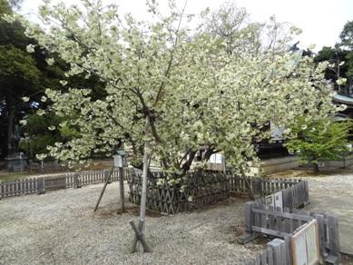 上地八幡宮 うこん桜1