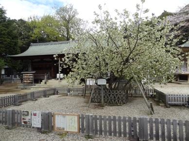 上地八幡宮 うこん桜3
